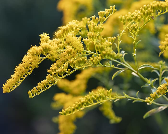 The pollen of early goldenrod (Solidago juncea) supports specialist bees.