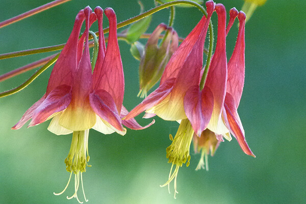 Eastern red columbine (Aquilegia canadensis) is a good hummingbird plant. Hummingbirds cannot use cultivars of this species.