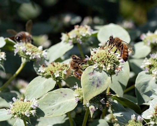 Mountain mint (Pycnanthemum muticum) is a native plant that attracts generalist bees like the honey bee. Honey bees can outcompete native bees for resources.