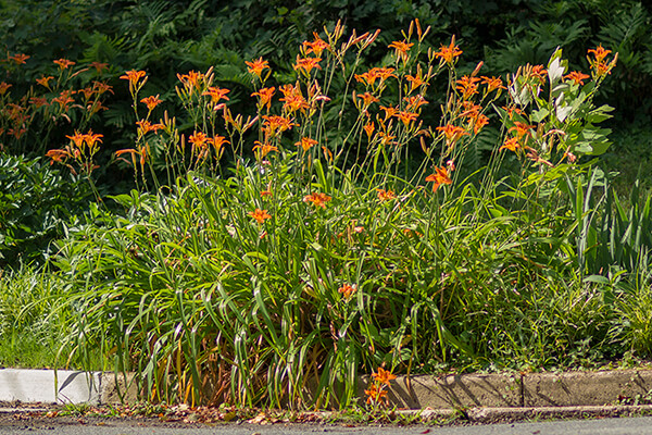 Invasive orange daylilies bloom in a neighbors' yard.