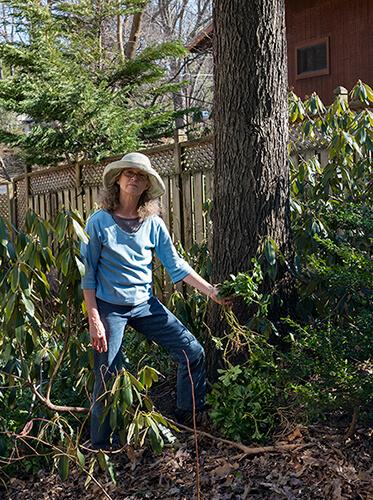 Gardener holds invasive pachysandra.