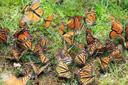Monarch butterflies puddling in Cerro Pelón.