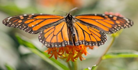Planting butterflyweed (Asclepias tuberosa) attracts beautiful insects like the monarch butterfly.