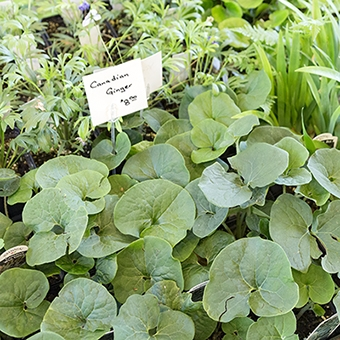 Native plants are typically very affordable. Here you can purchase wild ginger (Asarum canadense) a a native plant sale for $8 a pot.