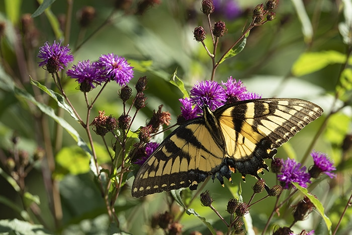 New Yord ironweed (Vernonia noveboracensis) attracts many flower visitors and pollinators like this Eastern tiger swallowtail butterfly.