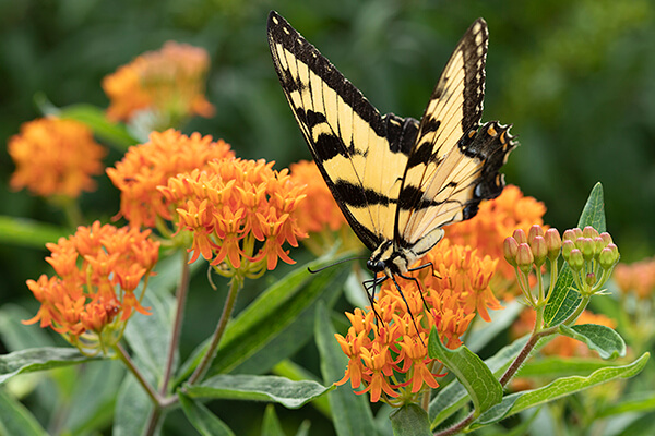 A tiger swallowtail butterfly nectars on native butterflyweed (Asclepias tuberosa).