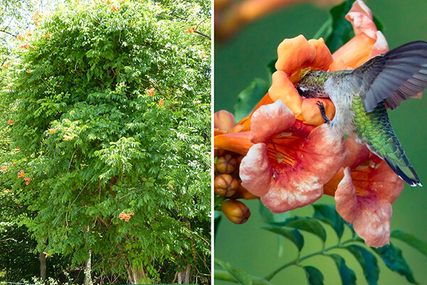 Trumpet creeper (Campsis radicans) is a good nectar source for hummingbirds.