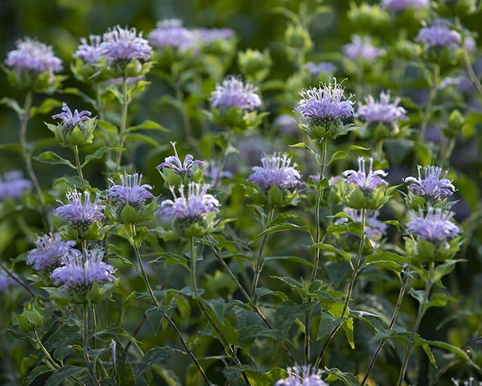 The pollen of wild bergamot (Monarda fistulosa) supports specialist bees.