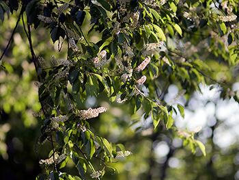 Wild black cherry (Prunus serotina) has high wildlife value.