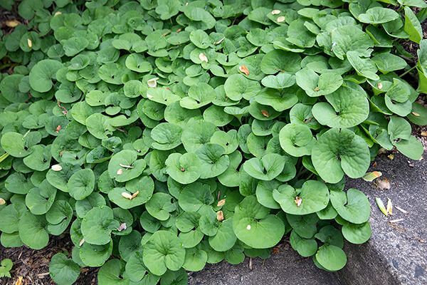 native ground cover wild ginger (Asarum Canadense )​grows near a path
