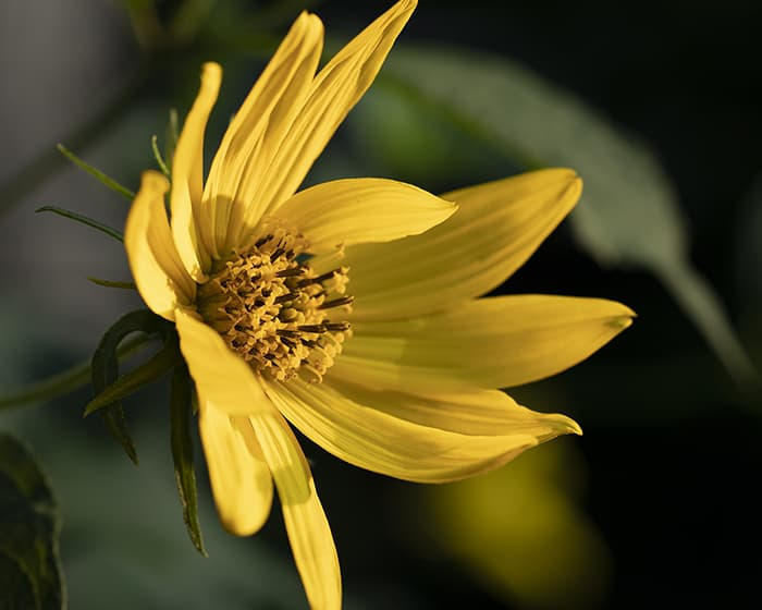 The pollen of woodland sunflower (Helianthus divaricatus) supports specialist bees.