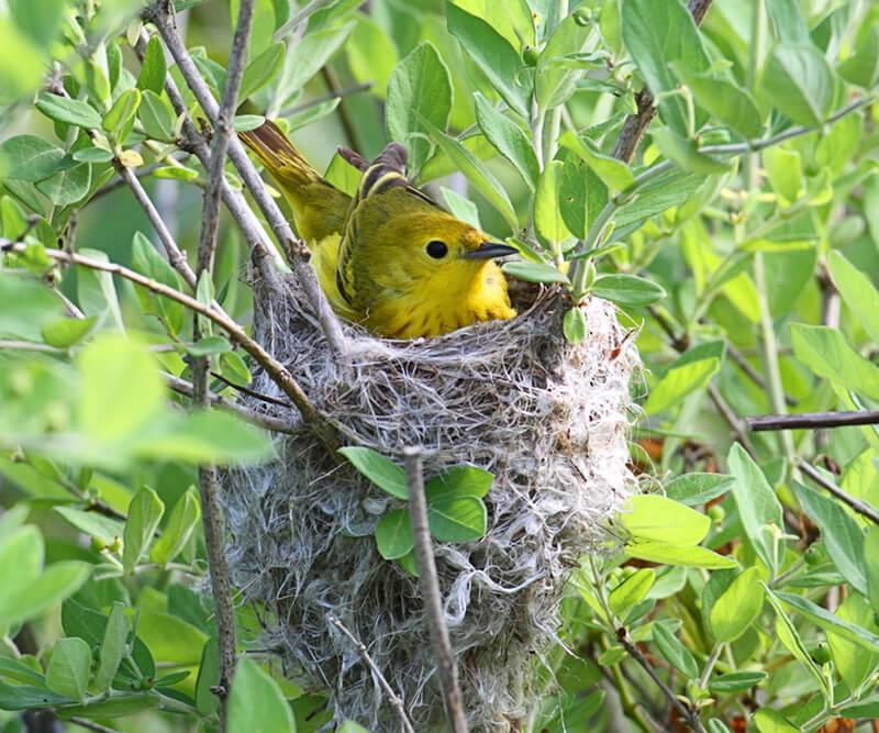 yellow-warbler-800