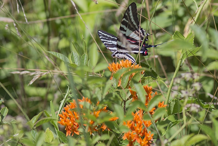 Butterflyweed (Asclepias tuberosa) attracts many flower visitors and pollinators like this zebra swallowtail.