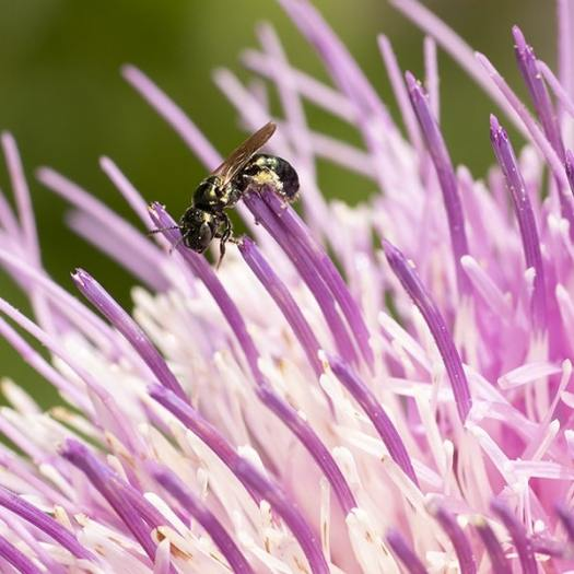 Native thistles provide high quality pollen and nectar to our native bees.