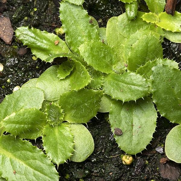 Native pasture thistle (Cirsium pumilum).