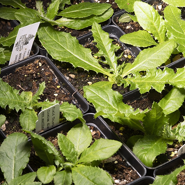 Young field thistle plants (Cirsium discolor) in pots.