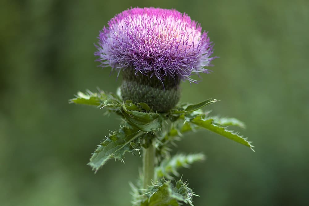 Native thistles provide high quality nectar and pollen to pollinators.