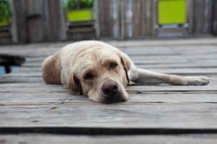 Dog at Aqua Lounge in Bocas del Toro, Panama.