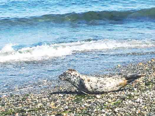 Seal on the beach at Point No Point in Hansville, Washington.