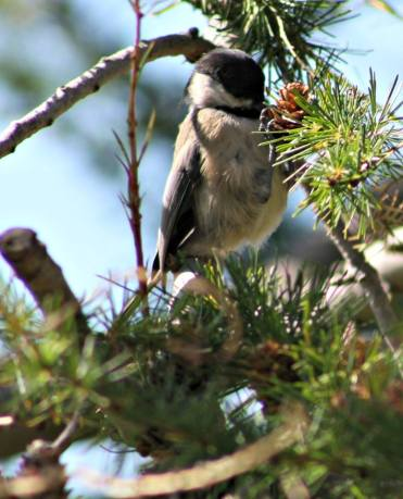 chickadee lunch