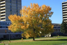 change of colour tree downtown dressed in gold