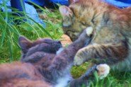 cats-playing