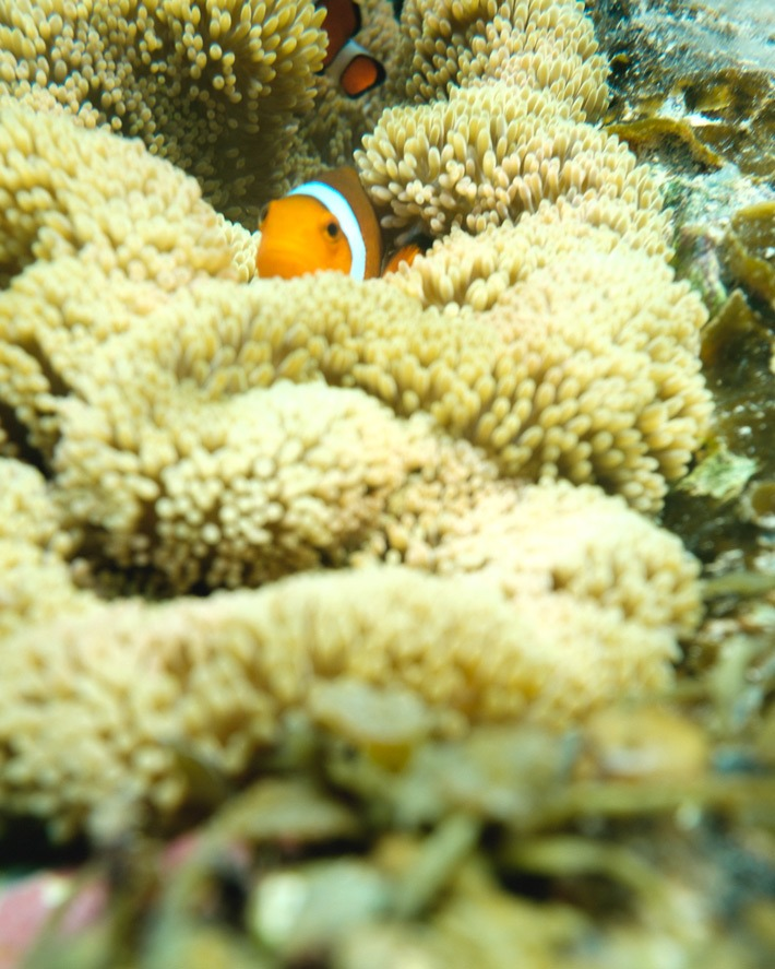 Clown fish in Ishigaki