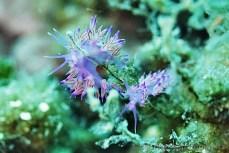Flabellina affinis (Flabelína fialová), potápění v Chorvatsku 2