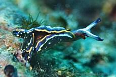 Thuridilla hopei (Elysa proužkovaná), Chorvatsko potápění 2