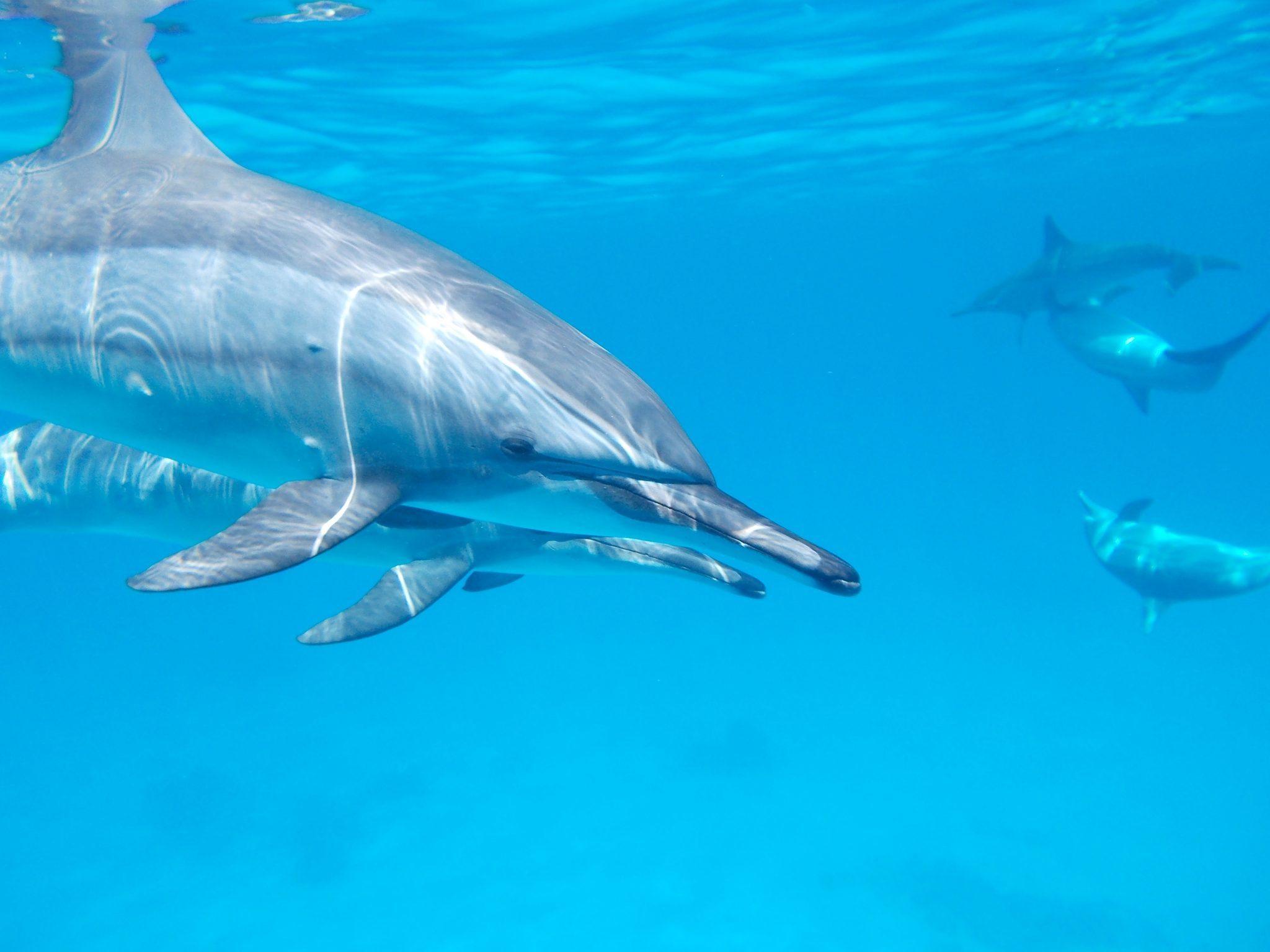 dolphin-makadi bay