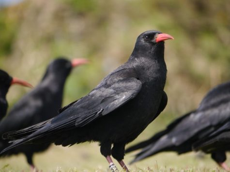 """White"" - One of the choughs now breeding on Jersey"