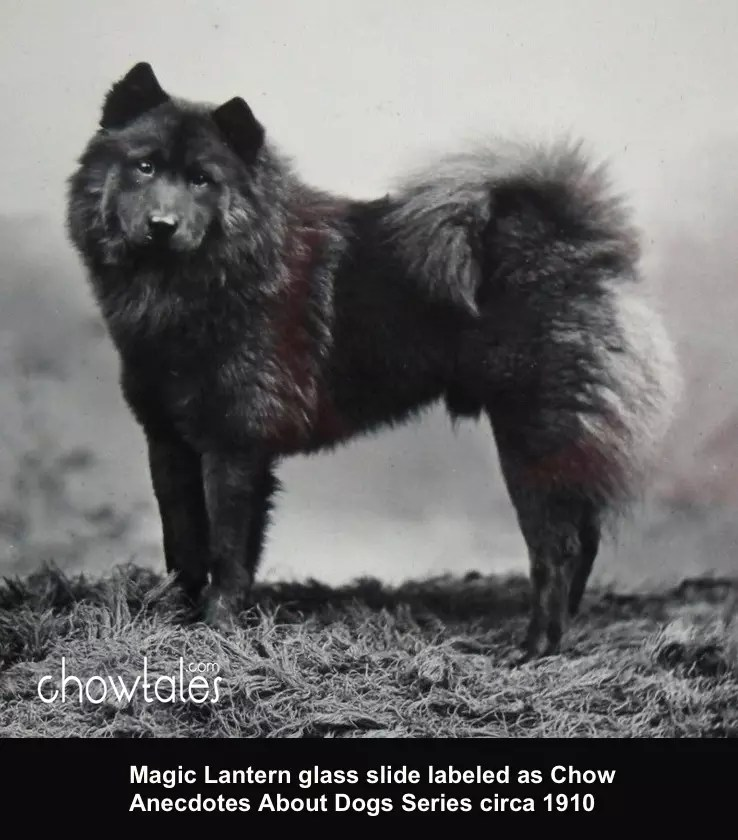 Magic Lantern Glass Slide Chow Chow Black Anecdotes About Dogs Series