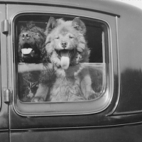 CURATED COLLECTION – Chows and Antique Cars