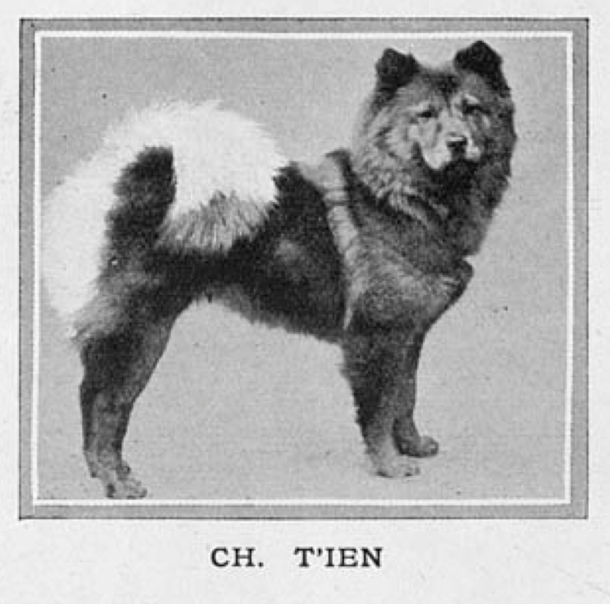 Ch. Ti'en born 1895 First red champion chow bitch