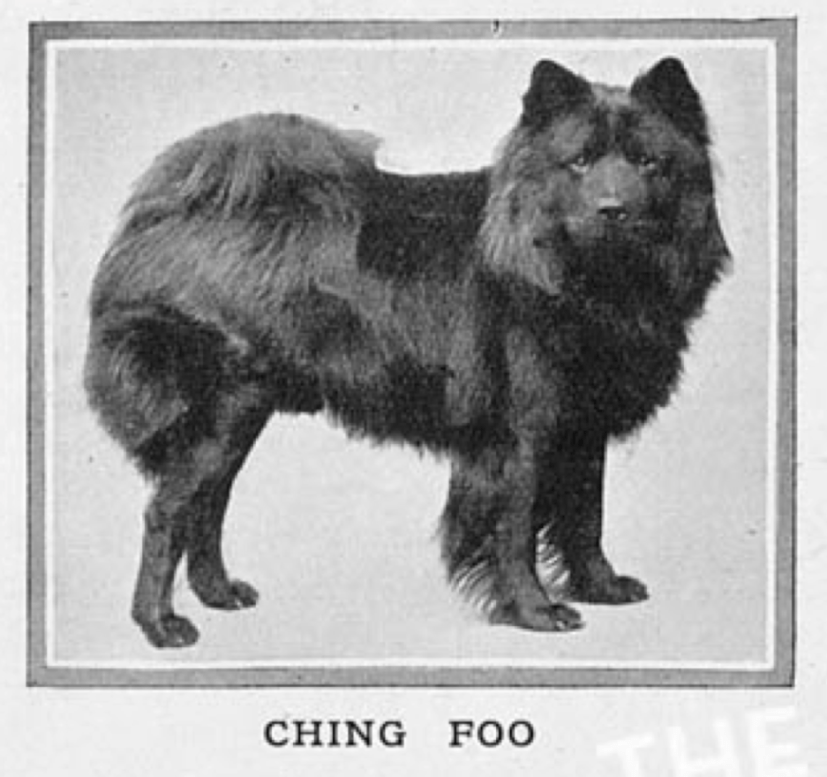 Ching Foo owned by Miss Casella