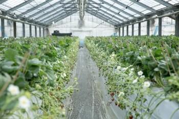 (熊本) 放心大口吃免驚 阿蘇木之內草莓園 草莓吃到飽不限時間 1500円