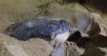 (馬來西亞) 珍拉汀灣Rantau Abang海龜Penyu Agar產卵現場直擊 大自然傳遞的真實感動(有影片)