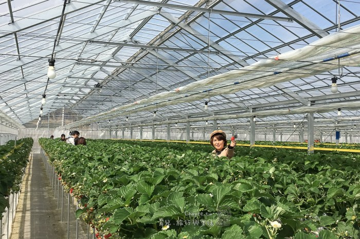 福島復興觀光起步 和田観光いちご園 鮮紅欲滴美味多汁 現採現吃大草莓