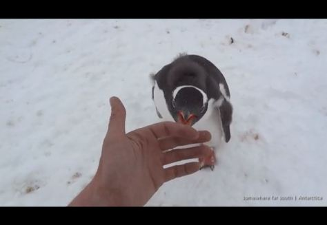 Wild penguin attack