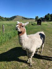 Jasper, the nosiest llama