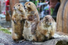 the trio (siap menyanyi trio)