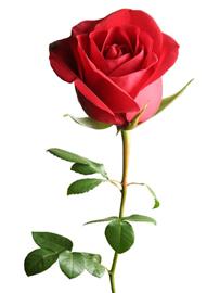 ROSE -LOVE