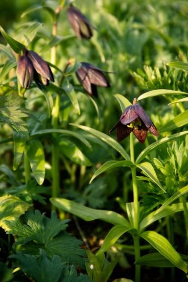 Mount Roberts flowers-3