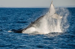 WhaleWatching-86