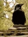Muir's Raven
