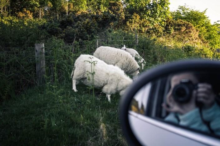 Schafe Isle of Mull