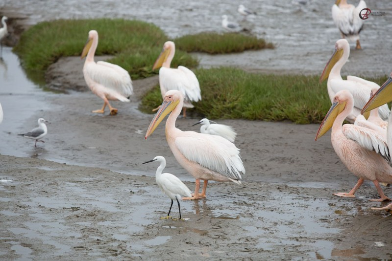 Pelican Egret Walvis Bay