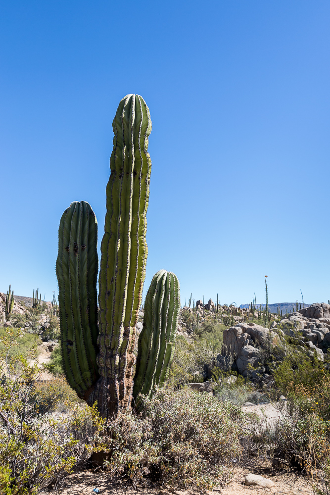 Cardon Cactus at Valle de los Cirios