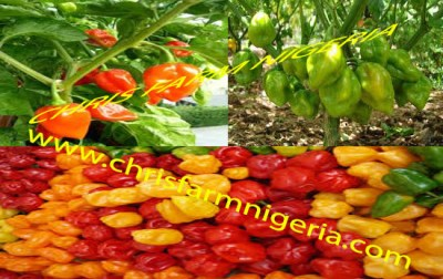 Capsicum or sweet peppers or green pepper feasibility study writers