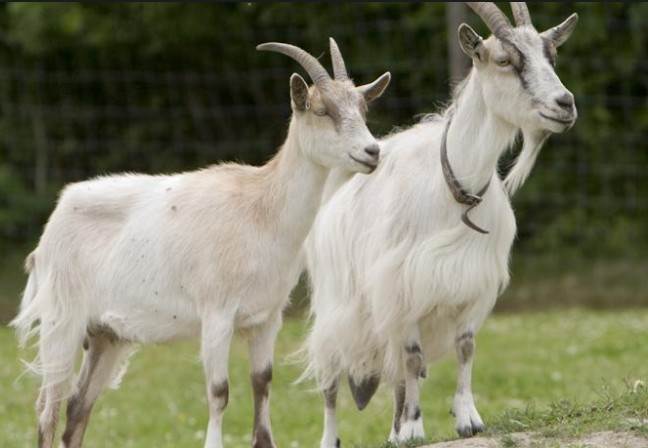 Startup a Goat Farming Business with Low Investment